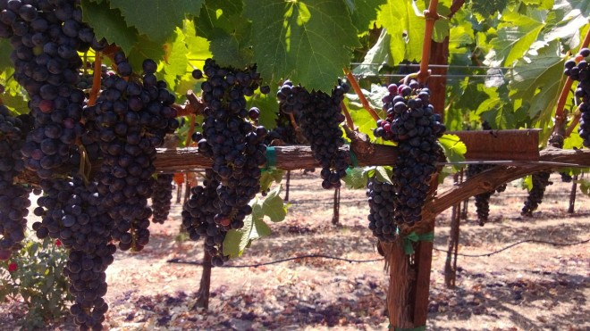 Merlot grapes at Bell Wine Cellars