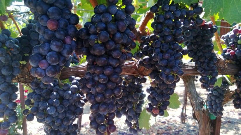 Wineaversary 2013:  Our Maiden Voyage to NapaValley